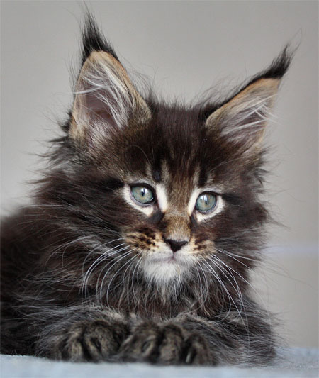 Котята мейн куна цена