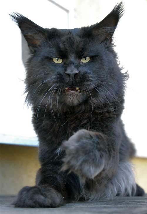 Фотографии котов мейн-кунов