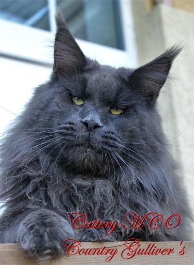 Купить кот мейн кун фото
