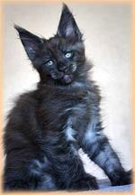 Купить кошек и котят из питомника и частные объявления о.