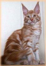 Купить в краснодаре кота мейн кун
